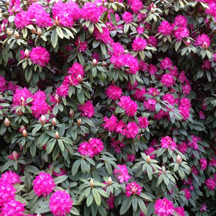 Stunning Rhododendron @ Tesselaars Tulip Farm Silvan Victoria- the most blooms I have ever seen.......
