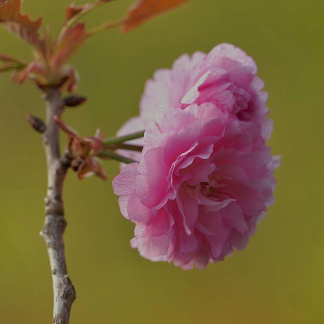 【shingo_427】さんのInstagramをピンしています。 《. 春が待ち遠しい第三弾 過去フォトです 先取りというか単なる出し忘れ(笑) 花の森公園で撮影した 八重桜 やたら話好きな おじいさんに捕まった記憶が…💧💧😱 撮影日:2016年4月 . みんなが桜見飽きる前に先行ポスト 海外でなかなか🌸sakura🌸見れないフォロワーさんからリクエストもあったので 第四弾、第五弾も出していいかな? . 只今 カワセミ絶賛捜索中 佐世保近郊で見られる場所有ったら DMでこっそり教えて下さい(*・ω・)*_ _))ペコリン . shot on LUMIX FZ1000 #lumixlife #コンデジら部 Panasonic lumix DMC-FZ1000 . #桜#cherrytree#cherryblossoms#春#flower#spring#お写ん歩#カメラ散歩倶楽部#ゆるりIGくらぶ#Pink#ピンク#sakura#マクロ#macro#クローズアップ#closeup#佐世保#sasebo#八重桜#はなまっぷ#カコフォト#自由って素晴らしい…