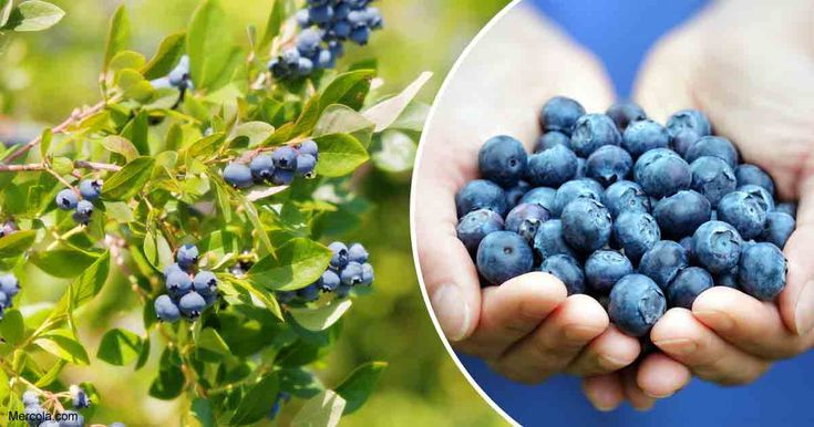 Blueberries are packed with antioxidant and anti-inflammatory properties that help reduce your risk for cancer, diabetes, heart disease and vision loss. https://articles.mercola.com/sites/articles/archive/2018/02/02/growing-blueberries.aspx?utm_source=dnl&utm_medium=email&utm_content=art1&utm_campaign=20180202Z1_dnl_c_02&et_cid=DM183340&et_rid=202861808