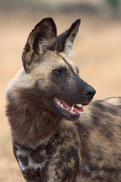 Beautiful markings found on the African wild dog, aka painted dog. Photo taken in Northern Botswana.