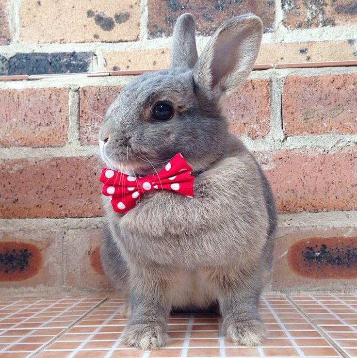 Red and white bow tie, rabbit accessories, pet rabbit