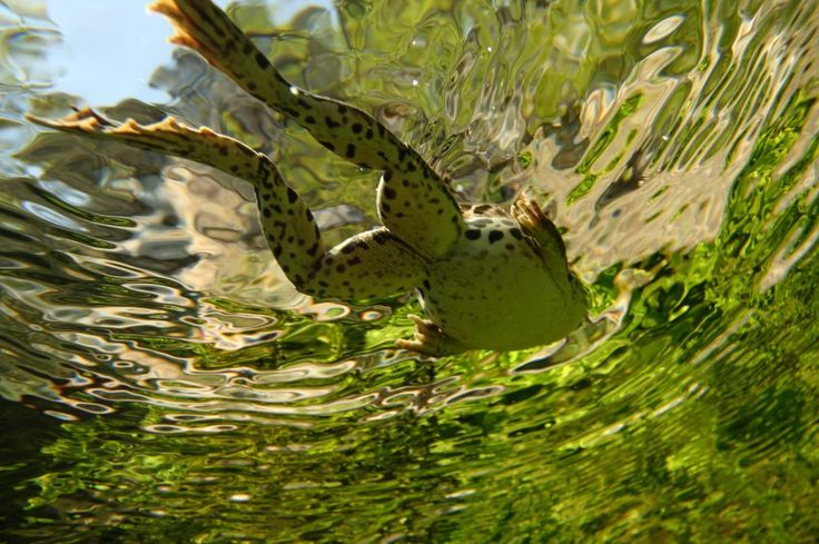 Marsh Frog, 2nd Grand Prize Winner Youth category  Photo by: Quentin Martinez