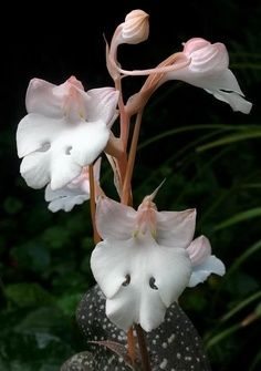White Nun Orchid (Lycaste Skinneri Alba) by VisitGuatemala: - Google Search