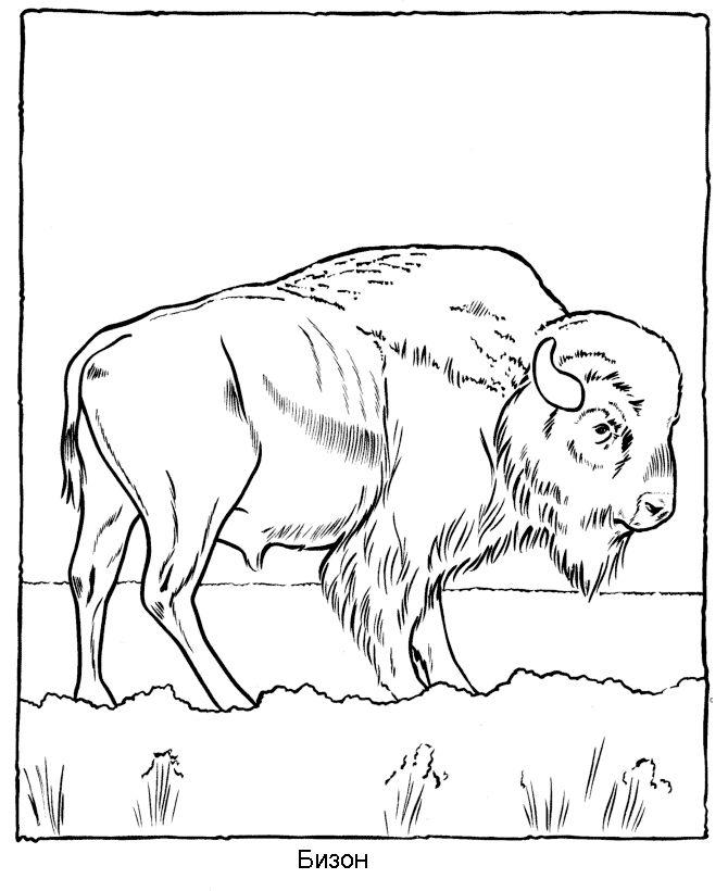 бизон картинки разукрасить животного забывайте, дышать