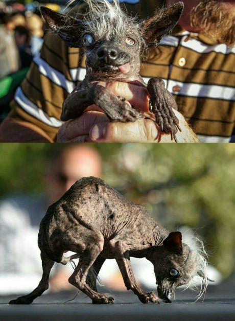 Meet the worlds ugliest dog contest winner Sweepee Rambo