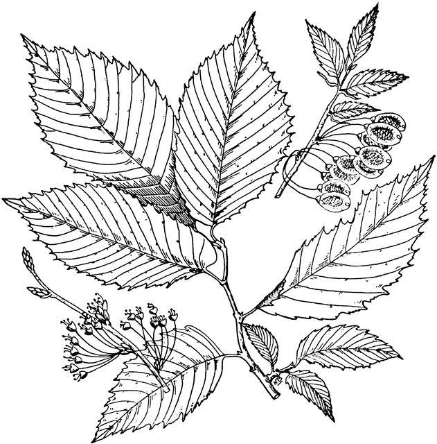 Elm Leaves | Leaf clipart, Elm tree, Leaves