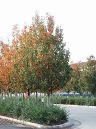 Pyrus calleryana 'Chanticleer' - Google Search