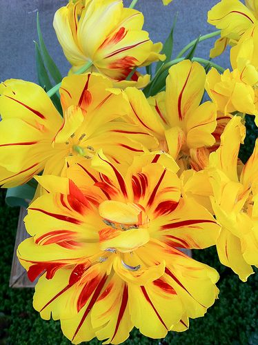 The 16 best yellow flowers images on pinterest floral arrangements tulips come in bold colors shapes and sizes which make both affordable and hugely wild flowersspring flowersyellow mightylinksfo