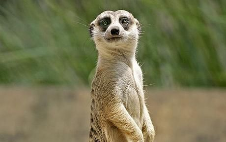 Human-like' meerkats in cinema documentary - Telegraph