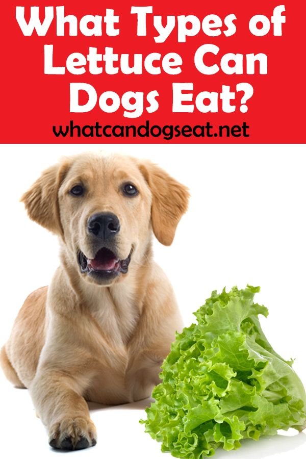 What Types Of Lettuce Can Dogs Eat Can Dogs Eat Dog Eating Types Of Lettuce