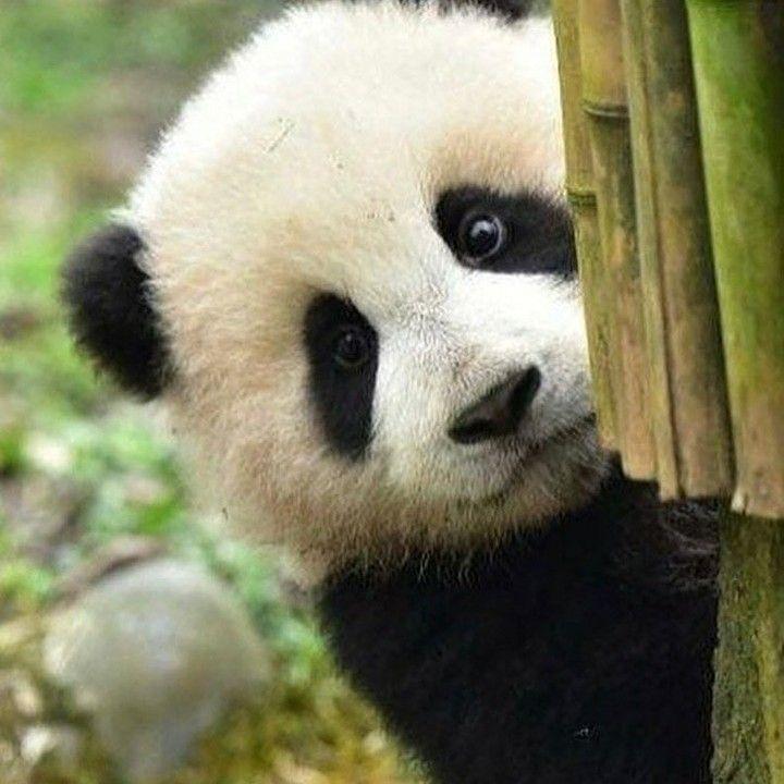 Милые картинки панды