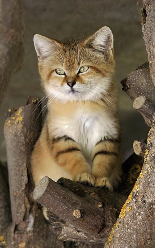 The desert cat aka sand cat, sand dune cat, (Felis margarita) is the only cat living foremost in true deserts.....sweet