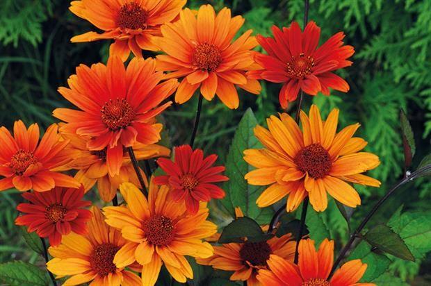 'Bleeding Hearts' Ox-eye Sunflower (Heliopsis helianthoides var. scabra)