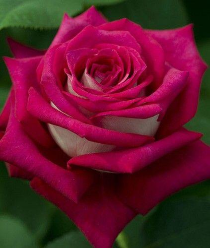 "Rose "" Monica Bellucci® "" , (Meimonkeur) , Meilland International (France, 2010)"