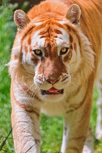 Walking golden tiger ~ Tambako the Jaguar - Photographer's note: This is the nice male golden tiger of the Siky Ranch. Golden tigers have brown stripes instead of black ones and some other differences with normal tigers. They are quite rare. The genetic mutation is comparable to the mutation of white tigers.