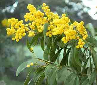 Australia national wattle gum flower