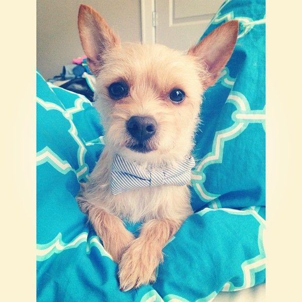 Butters 3 Cairn Terrier Chihuahua Mix Butters And Biscuit