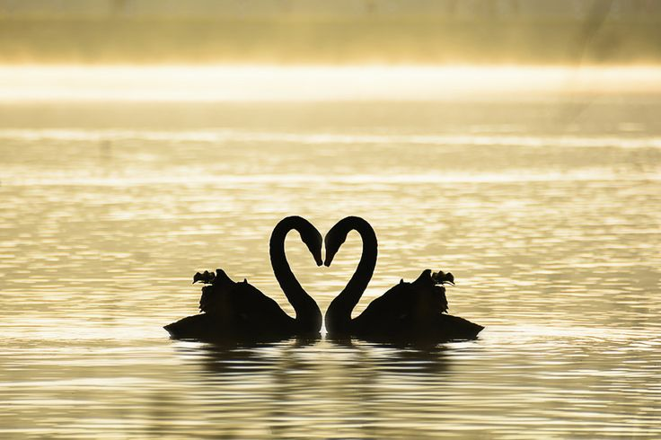 Swan in love by Sakkarin Kamutsri on 500px