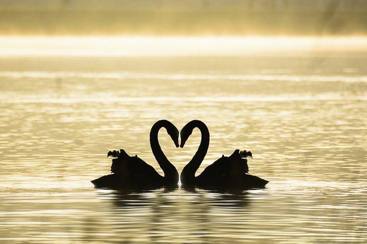 Swan in love by Sakkarin Kamutsri on 500px