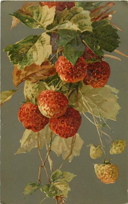 Raspberries on vine by C. Klein                                                                                                                                                                                 Mais