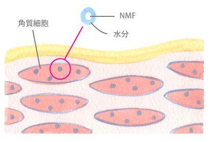 角質細胞内に存在するNMFのイメージ図