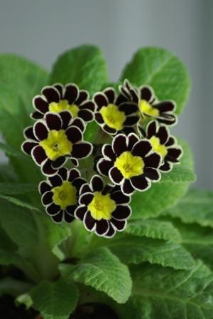 Still in a black mood over #GOIblocks This Victorian silver lace perennial sums it. #flowers