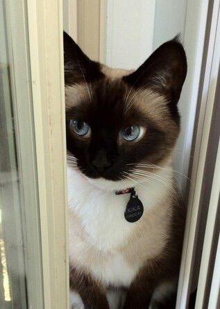 We Heart It 経由の画像 https://weheartit.com/entry/162899723 #animal #beautifuleyes #blueeyes #cat #cute #eyes