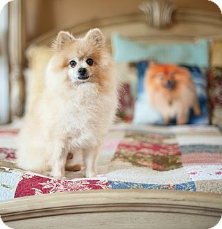 pomeranian rescue dallas 17 best images about adoptable dogs on pinterest 880