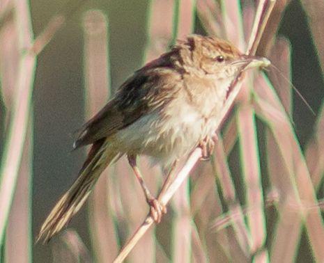 Tawny Grassbird - Bureen Rd