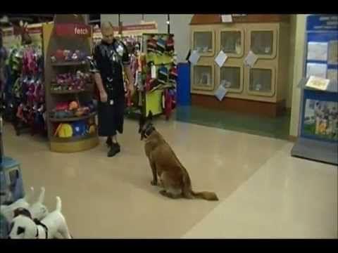 Family Protection Dog Belgian Malinois Female - YouTube