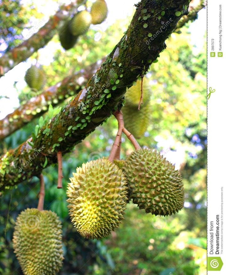9 best durian tree images on pinterest durian tree