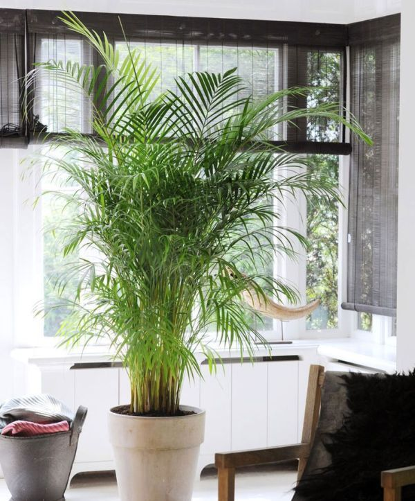 The Best Low-Maintenance Indoor Plants - Areca Palm