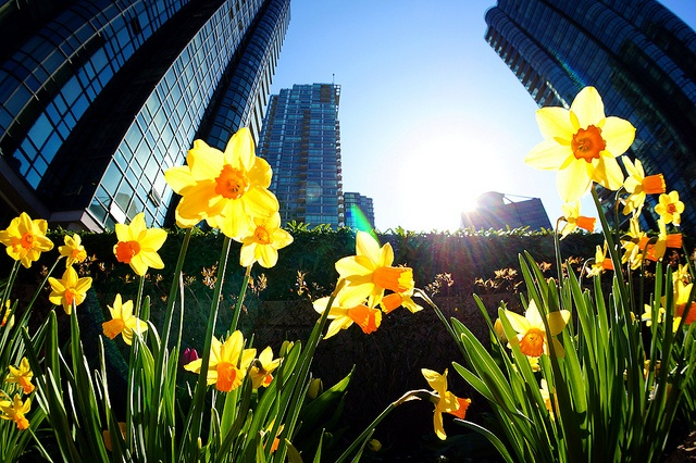 Daffodil Blossoms @ Coal Harbour  Canada- Vancouver   #spring  #city life