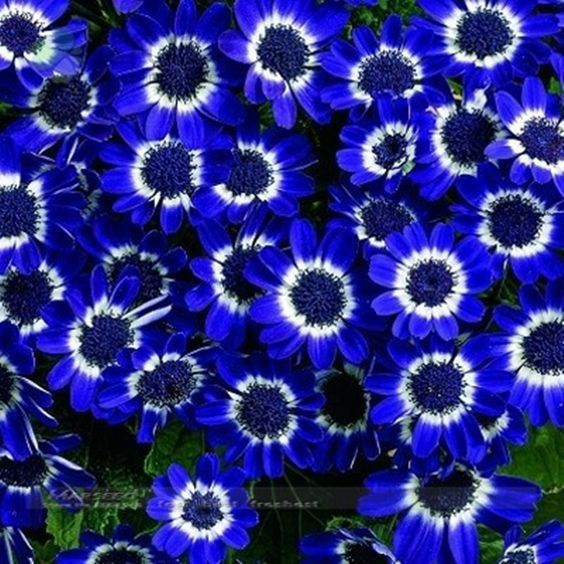 50 Blue Daisy , Blue Cineraria easiest growing flower, hardy plants flower seeds exotic ornamental for garden >>> Continue to the product at the image link.