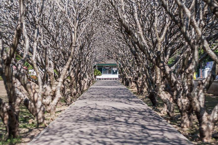 Plumeria Tunnel In Thailand