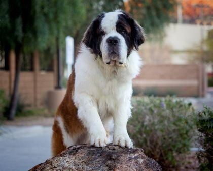 Show your support for Big Fluffy Dog Rescue by voting for Diezel in the Big Fluffy Dog Rescue Wine Bottle Cover Model Contest