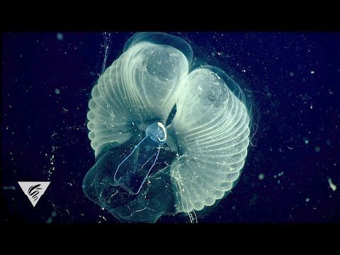 'Giant' larvaceans filter the ocean with mucous webs | The Kid Should See This