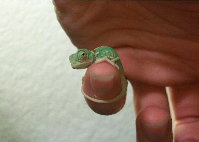 Tiny baby chameleon...I want a ginormous herd of these things.