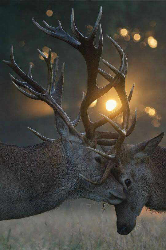 Stag's