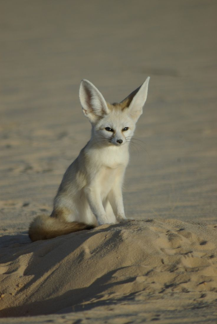 Fennec Fox- they can hear prey scurrying underground. Jehovahs the header of prayer. Creation shows his personality