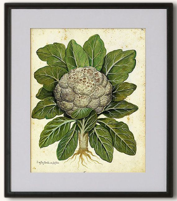 Lovely Print of Cauliflower 8x10 20x25 cm. Rare by RoyalArtPrints