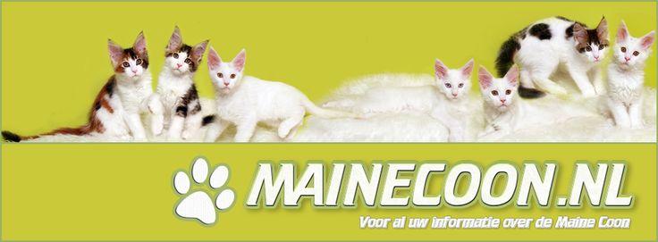 #MaineCoon #Banner Feline Fantasy's Moonlight and Roses litter