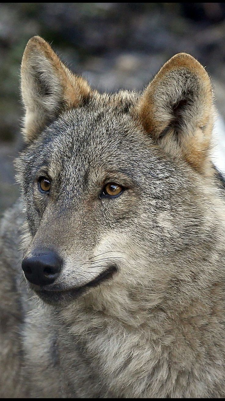 1337 best wolves images on pinterest animals wild animals and