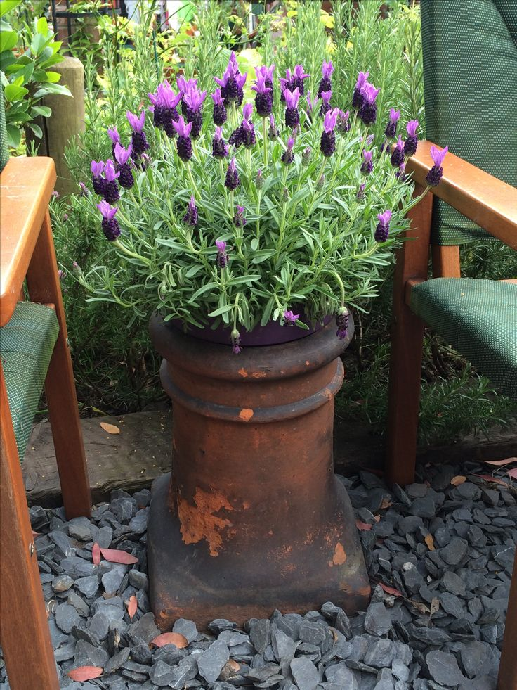 Chimney Pot Lavender