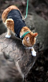 Training a Cat to Walk on a Leash. Photo: Suzanne DeChillo/The New York Times