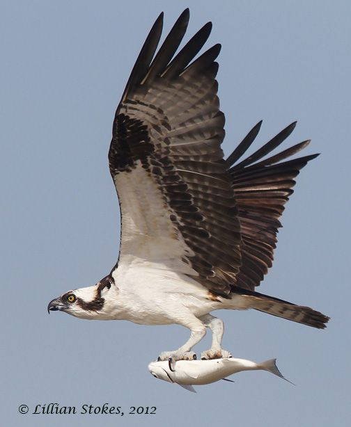 The osprey is also called the 'fish hawk', as it is well adapted for hunting fish. A reversible outer toe helps the osprey to carry fish while in flight. Hunting almost exclusively for live fish, the osprey plunges feet first to snatch them from the water, sometimes becoming completely submerged.