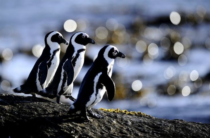 21 interesting facts about penguins that may just put a smile on your face.------- I FRIGGIN LOVE PENGUINS OMG THEY ARE SO CUTE