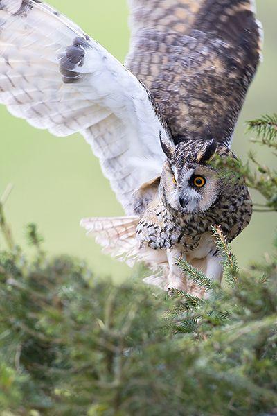 Long-eared Owl - Mark Hancox Bird Photography
