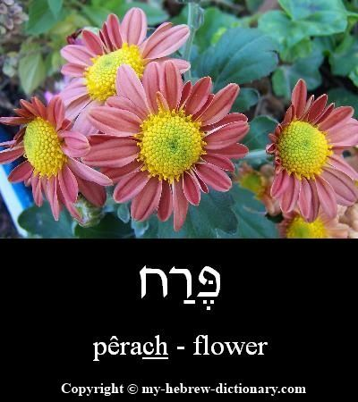 """How to say """"Flower"""" in Hebrew. Click here to hear it spoken by an Israeli: http://www.my-hebrew-dictionary.com/flower.php"""