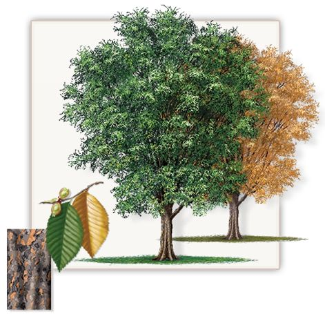 Lacebark Elm Tree | Mature Height: 35' - 40' | Fall Color: Golden Yellow | Growth Rate: 1.5' - 2' Per Year  #trees #landscaping #gardening